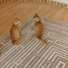 En Garde!  #Kitten #kedicik #CookieTombik #Istanbul #funnyvine #ginger #EnGarde #catfight #LOL #catvine #kedivine