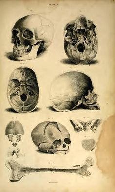 A System of Anatomical Plates of the Human Body accompanied with descriptions and physiological pathologocail and surgical observations by John Lizars The Human Body, Skull Anatomy, Anatomy Art, Human Anatomy, Biology Art, Anatomy Sketches, Human Skull, Gcse Art, Skull And Bones