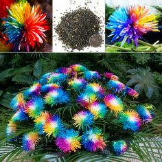 50 Rainbow Chrysanthemum Flower Seeds rare color new arrival DIY Home Garden flower plants. 50 pieces / lot. Brand Name: NEW. Product Type: Bonsai. Use: Outdoor Plants. Cultivating Difficulty Degree: Very Easy. Classification: Happy Farm. Full-bloom Period: Autumn. Type: Herbs. Flowerpot: Excluded. Location: Courtyard. Function: Beautifying. Size: Small. Applicable Constellation: Virgo. Climate: Subtropics. Style: Biennial