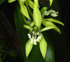 Orchid: Coelogyne brachyptera - Flickr - Photo Sharing!