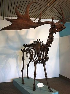 The Irish elk is the largest deer to have ever existed. It went into extinction approximately 7,700 years ago.