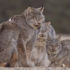 Mother lynx and kittens, Riding Mountain National Park, Manitoba - @mfkphotography.ca on Instagram