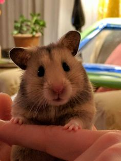 My girl Cabot wanted to say hello - hamsters Hamster Pics, Hamster Care, Hamster Habitat, Cute Little Animals, Cute Funny Animals, Funny Hamsters, Cute Creatures, Animals And Pets, Fluffy Animals