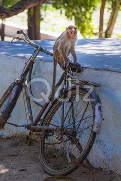 Qdiz Stock Photos | Monkey,  #animal #ape #bike #india #jocko #mammal #marmoset #monkey #monkeyish #natural #nature #primate #simian #sitting #stone #wild #wildlife