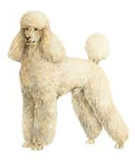 The Poodle, though often equated to the beauty with no brains, is exceptionally smart, active and excels in obedience training. The breed co...