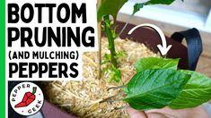 Growing Peppers, Pepper Plants, The Creator, Veggies, Geek Stuff, Stuffed Peppers, Veggie Gardens, Ethnic Recipes, Gardening