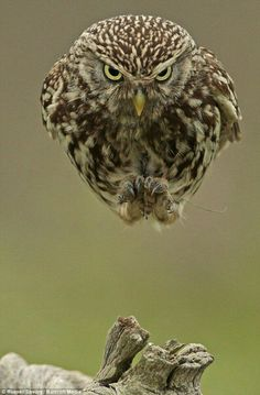 Owls in flight