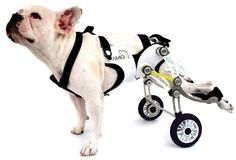 amigo wheelchair for the disabled (but awesome) dog.