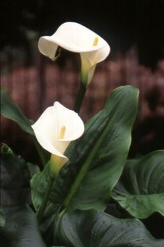 Poisonous plants | Kids Health @ CHW|Arum Lily all parts are poisonous including bulbs!