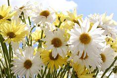 Spring Daisies!
