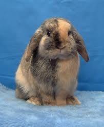 lop bunnies - Google Search