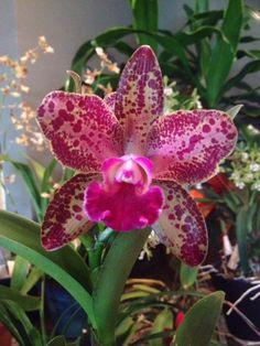 Orchid BLC Waianae Leopard Ching Hua Image | ... waianae-leopard-ching-hua-hcc-aos-waianae-leopard-ching-hua-hccaos.jpg
