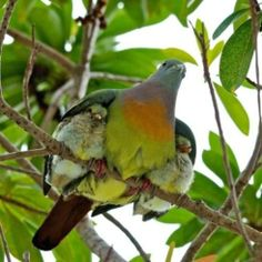Mother sheltering her babies under her wings, wow