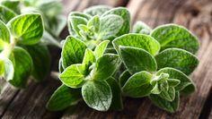 Oregano https://www.rodalesorganiclife.com/garden/10-herbs-to-grow-inside-all-year-long/slide/6