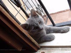 gato + janela = posto de observação #cat #gatocinza #janela