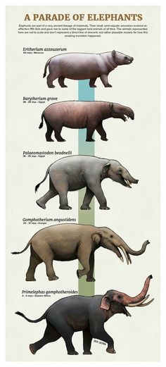 Exemplo de elefantes do continente. How the Elephant evoled, according to Evolution theory. Prehistoric Wildlife, Prehistoric World, Prehistoric Creatures, Dinosaur Art, Dinosaur Crafts, Extinct Animals, Pet Birds, Animal Kingdom, Animals Beautiful