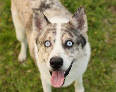 Haiku - Siberian Husky x Australian Shepherd Husky Australian Shepherd Mix, Aussie Mix, Husky Mix, Doge, Puppy Love, Cute Animals, Puppies, Haiku, Creatures