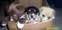 Pictures of  cute Smooth coat border collie/shepherd mixed puppies