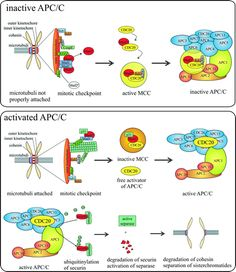 he MCC (mitotic checkpoint complex) is formed inactivating the APC/C. This changes when the last kinetochore becomes attached to microtubuli. Now, Cdc20 activates the APC/C which in turn ubiquitinylates the cohesin inhibitor securin. This leads to cohesin degradation, initiating sister chromatide separation. In early G1, instead of Cdc20, Cdh1 activates the APC/C to maintain mitotic cyclin destruction. Cell Cycle, Apc, Destruction, Sisters