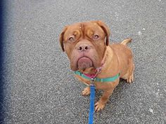 CROSBY/5 yrs old - Dogue de bordeaux...WPHS PITTSBURGH, PA. Application required. PetHarbor.com: Animal Shelter adopt a pet; dogs, cats, puppies, kittens! Humane Society, SPCA. Lost & Found.