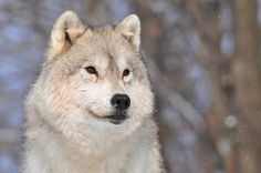 Young Arctic Wolf | kingarfer | Flickr