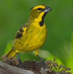 Cardeal-amarelo (Gubernatrix cristata)