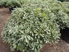 1000 images about shrubs on pinterest evergreen shrubs for Low maintenance evergreen shrubs