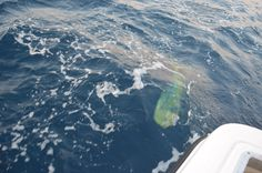 The MAHI that Lynn caught.....