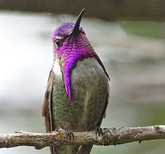 Male Costa's Hummingbird On Branch Greeting Card for Sale by Marillyn Meadows Bernstein Cute Birds, Pretty Birds, Beautiful Birds, Animals Beautiful, Cute Animals, Exotic Birds, Colorful Birds, Hummingbird Pictures, Hummingbird Wings
