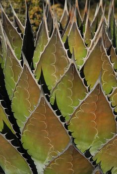 It never ceases to amaze me to see the leaf imprint on agaves Agaves, Cacti And Succulents, Planting Succulents, Planting Flowers, Succulent Ideas, Cactus Planta, Cactus Y Suculentas, Patterns In Nature, Textures Patterns