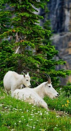 Mountain goats at Glacier National Park, Montana, U.S (by Julie Lubick on Flickr)