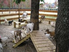 Move the goats from the pen to a new goat yard in the pasture.