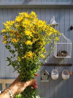 PASTU domov: Svatojánský třezalkový olej Bird, Outdoor Decor, Plants, Gardening, Birds, Lawn And Garden, Plant, Planets, Horticulture