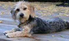 The Poogle Beagle Poodle Mix, Beagle Puppy, Types Of Beagles, Cute Beagles, Group Of Dogs, Purebred Dogs, Puppy Eyes, Dogs Of The World, Dog Life