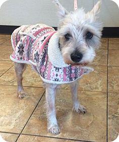 Oak Ridge, NJ -*Senior* Miniature Schnauzer. Meet Greta, a dog for adoption. http://www.adoptapet.com/pet/17302796-oak-ridge-new-jersey-miniature-schnauzer