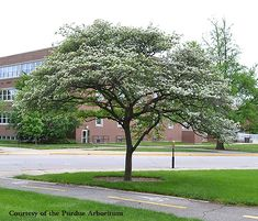 Hawthorne Tree, similar to the one on the street side of the Hawthorne Bed & Breakfast in Hawks Point Harbor, Maine.