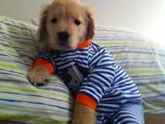 Puppy pajamas on Ray Charles the Golden Retriever from Massachusetts - he is adorable! He's a blind golden retriever. Puppies In Pajamas, Cute Puppies, Cute Dogs, Dogs And Puppies, Doggies, Baby Dogs, Funny Dogs, Baby Puppies, Wtf Funny