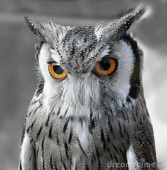 black white and yellow | Black And White Owl Royalty Free Stock Image - Image: 3192676