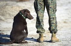 Grady, an improvised explosive device detector dog (IDD), waits for a command from his Marine trainer during an Office of Naval Research (ONR)-hosted IDD 2.0 project technical demonstration.