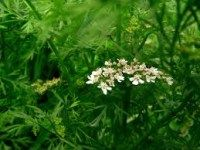 čaj na hemoroidy. Herbs, Plants, Herb, Planters, Plant, Spice, Planting