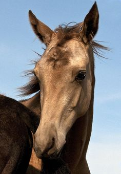 Lovely Akhal-Teke filly <3 What a sweet and gentle eyes :).