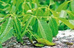 Kedy na orezávanie konárov orecha?