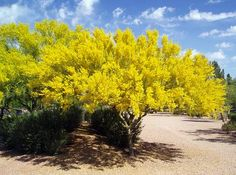 Arizona state tree - Palo Verdi