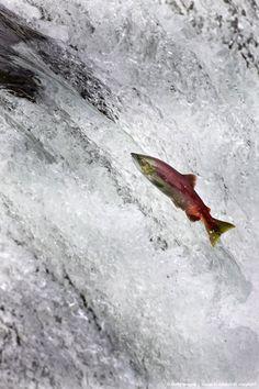 Red or Sockeye Salmon (Oncorhynchus nerka) jumping the falls of the Brooks River, Katmai National Park, Alaska.