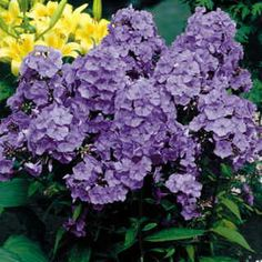 One of the absolute best for mildew resistance, strong blue color, and sturdy, no-staking habit! These bright blue blooms arise in magnificent 10- to 12-inch wands, beginning in midsummer and continuing until late in the season.