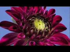 Dahlia bud to flower opening time lapse - YouTube