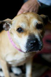 Nina is an adoptable American Staffordshire Terrier Dog in New York, NY. Hi My name is Nina a 6 year old female american staffie/boston terrier full grown at 33 pounds If you are looking for a dog to ...