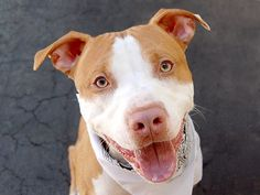 TO BE DESTROYED 5/10/14 Brooklyn Center -P  My name is AJ. My Animal ID # is A0961312. I am a male tan and white pit bull mix. The shelter thinks I am about 3 YEARS old. *** RETURNED ON 4/22/14 ***  I came in the shelter as a OWNER SUR on 04/22/2014 from NY 10473, owner surrender reason stated was MOVE2PRIVA. https://www.facebook.com/photo.php?fbid=594337000579183&set=a.611290788883804.1073741851.152876678058553&type=3&theater