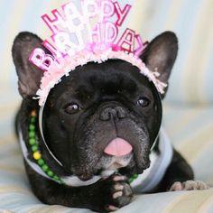 So cute Happy birthday French bulldog.
