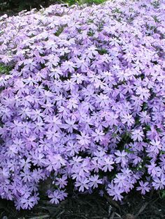 Spreads rapidly to cover any open sunny spot.  Phlox subulata Blue